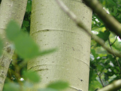 bark quaking aspen