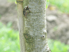bark bird cherry
