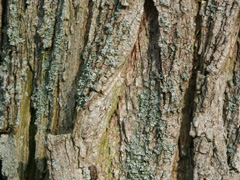 bark black locust