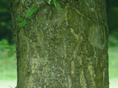 bark chestnut