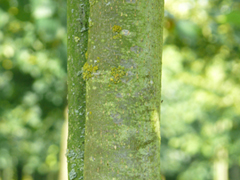 bark common lime