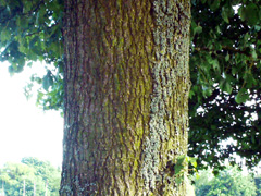 bark field maple