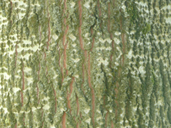 bark grey poplar