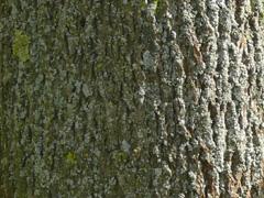Tree Identification Identify Bark Of Trees - Norway maple bark