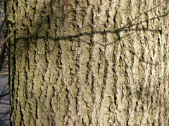 bark small leaved lime