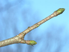 sycamore maple bud