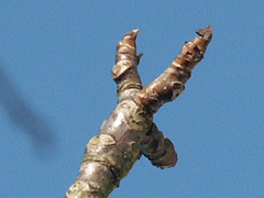 walnut bud